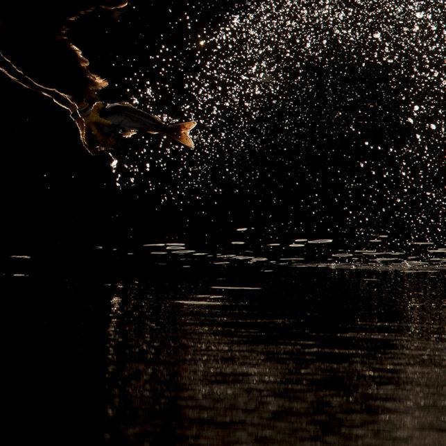 Havørn i motlys I, fotokunst veggbilde / plakat av Terje Kolaas