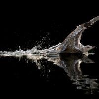 Skårunge på svart hav, fotokunst veggbilde / plakat av Terje Kolaas
