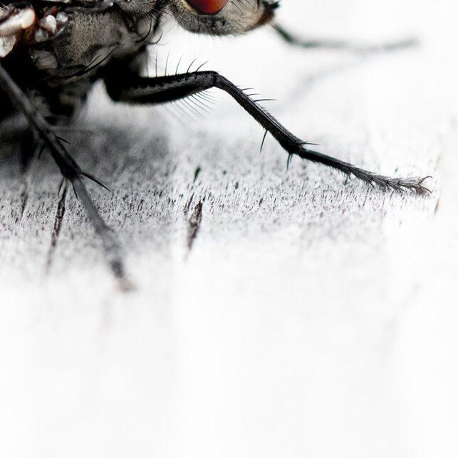 Rødøyd flue, fotokunst veggbilde / plakat av Terje Kolaas