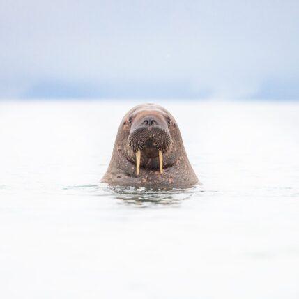 Nysgjerrig hvalross, fotokunst veggbilde / plakat av Terje Kolaas