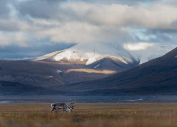 Svalbardrein i Adventdalen II, fotokunst veggbilde / plakat av Terje Kolaas