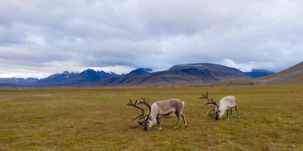 Svalbardrein i Adventdalen, fotokunst veggbilde / plakat av Terje Kolaas