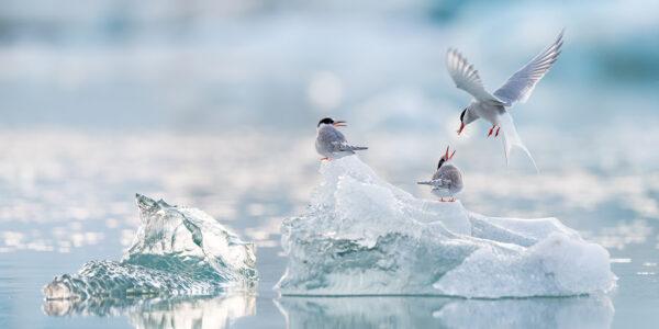 Rødnebbterner i havisen, fotokunst veggbilde / plakat av Terje Kolaas