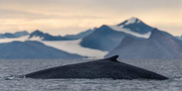 Blåhval på Svalbard, fotokunst veggbilde / plakat av Terje Kolaas