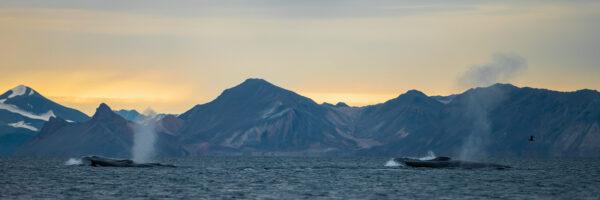 Blåhvaler på Svalbard, fotokunst veggbilde / plakat av Terje Kolaas