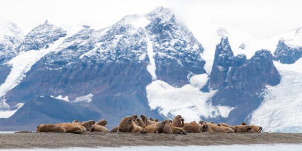 Hvalross på Svalbard, fotokunst veggbilde / plakat av Terje Kolaas