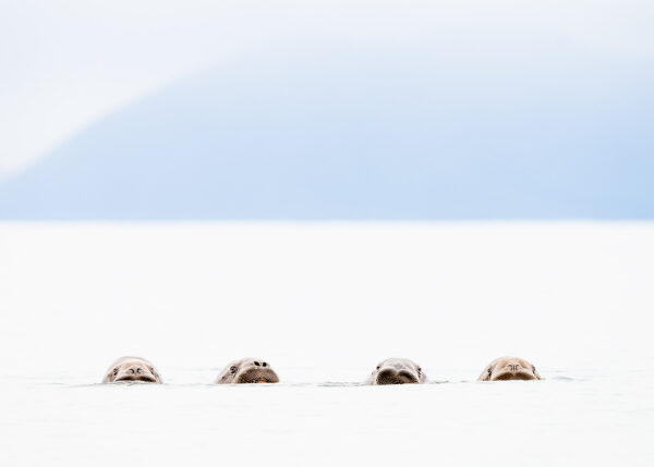 The four rossmen - hvalrosskvartetten, fotokunst veggbilde / plakat av Terje Kolaas