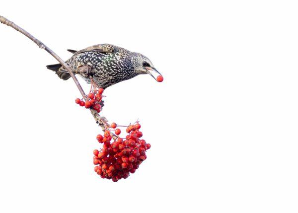 Stær med røde bær, fotokunst veggbilde / plakat av Terje Kolaas