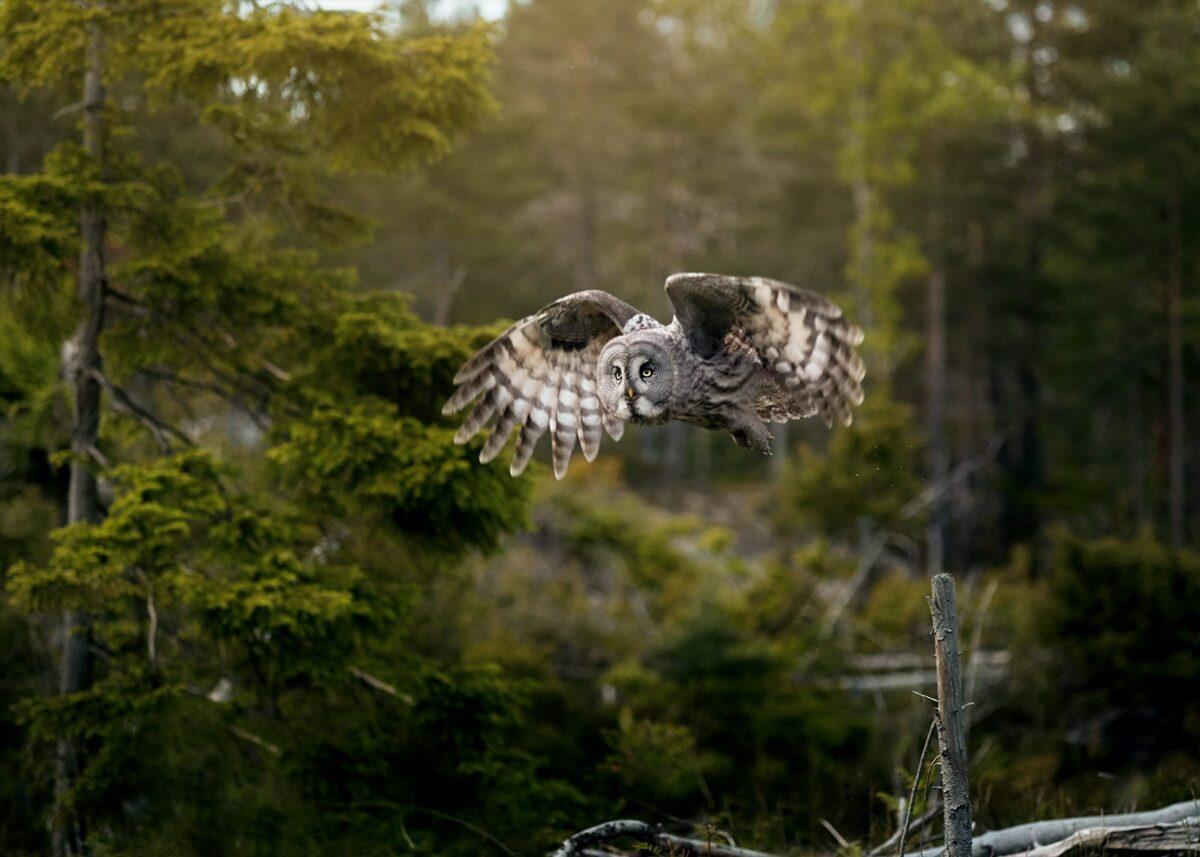 Ugle, fugl, skog, fotokunst veggbilde / plakat av Tom Erik Smedal