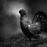 Tiur i skogen - sorthvitt, fotokunst veggbilde / plakat av Tom Erik Smedal