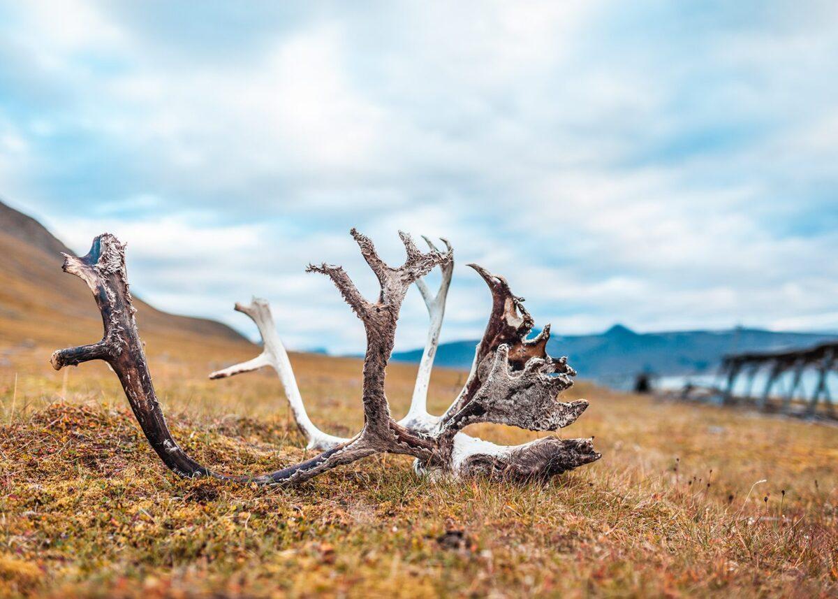 Geviret til et reinsdyr liggene i flott natur på Svalbard., fotokunst veggbilde / plakat av Thor Håkon Ulstad