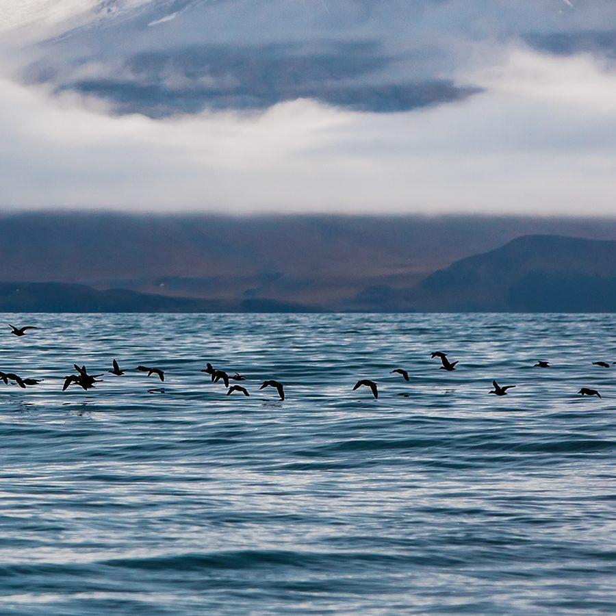 Fugler i arktisk lanskap av Thor Håkon Ulstad